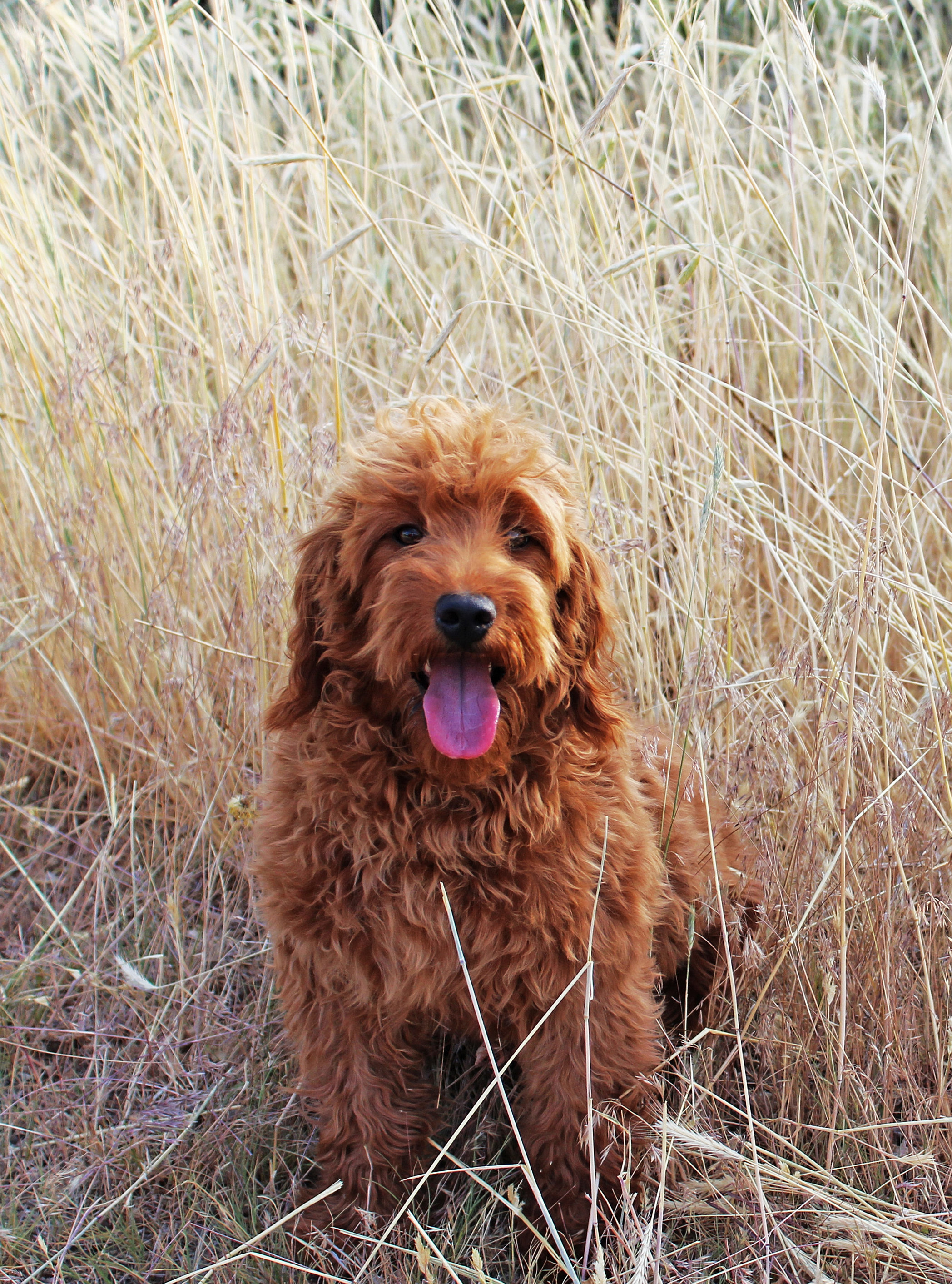 F1 Red Goldendoodle - #traffic-club
