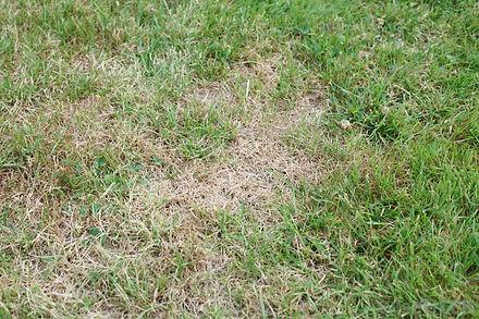 dead-spots-on-a-lawn.jpg