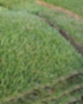 Zeon-Zoysia-650x360.png