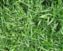crowne-zoysiagrass_med.jpg
