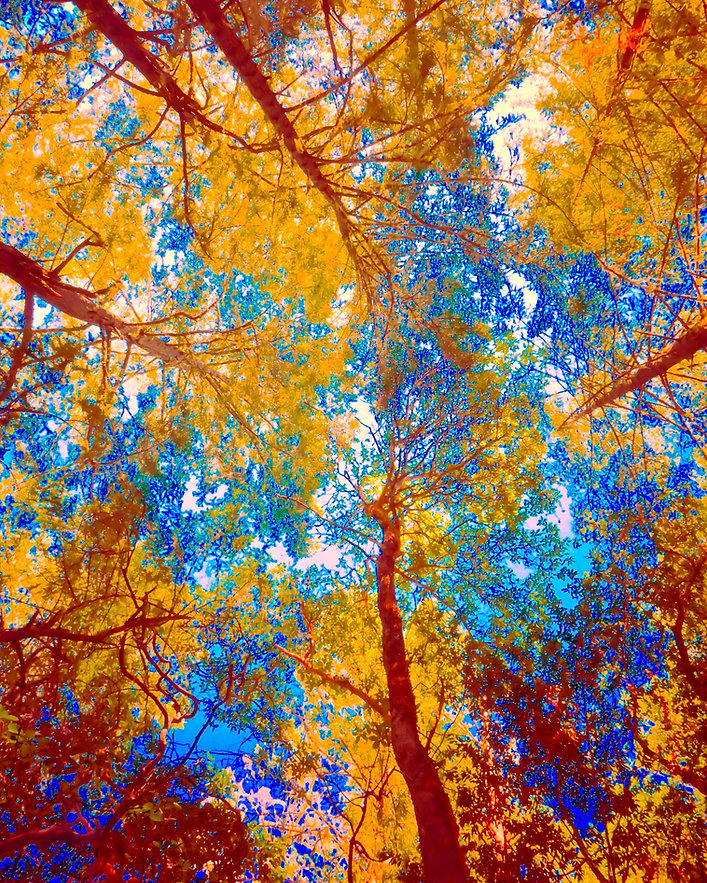 Autumn Splash is a photo from Armstrong Woods in Northern California. The colors are altered and enchanced for an art show's color splash theme, with redwoood trees and yellow leaes splashing into the blue sky.
