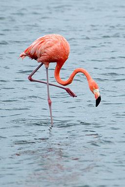 Phoenicopterus_ruber_Bonaire_2.jpg