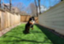 artifical turf synthetic grass bernese mountain dog rymar 50 everblade