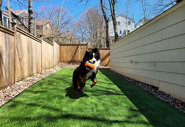 artifical turf synthetic grass bernese mountain dog rymar 50 everblade