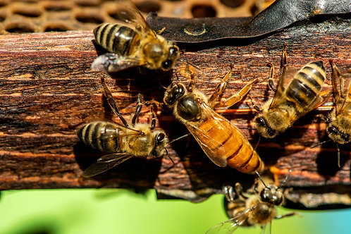 Northern Mated Queen Bees
