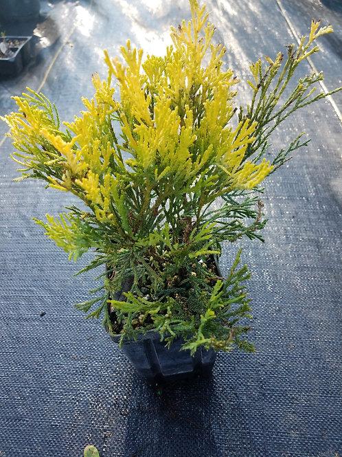 Chamaecyparis pisifera filifera Pauls Gold