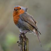 Windswept Robin