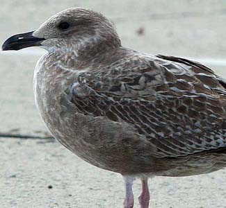 Herring Gull by Dave Brown