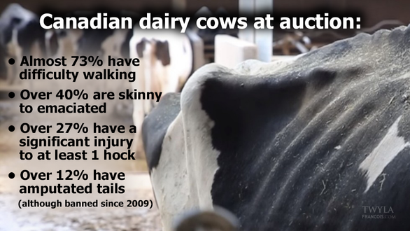 Canadian Dairy Cows at Auction