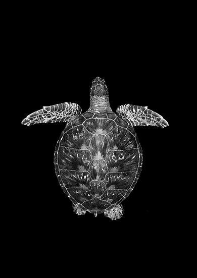 Green Sea Turtle - Byron Bay, Australia
