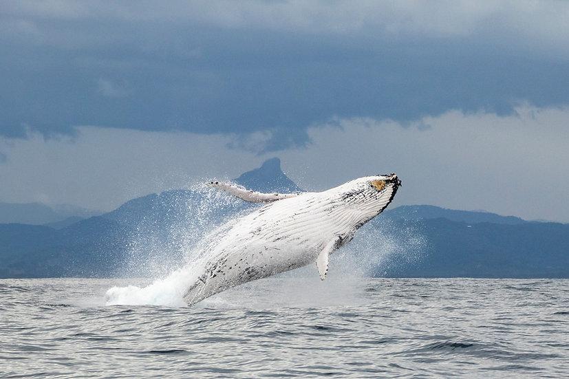Wollumbin Whale, Mt Warning, Byron Bay, Australia