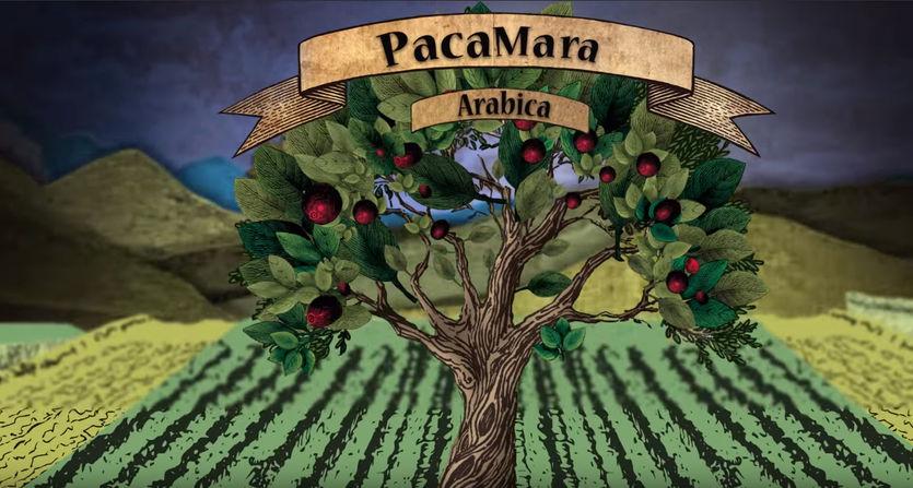 Coffee Island - Pacamara