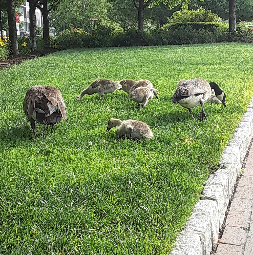 Geese and goslings on the grass.