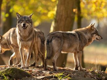 Le loup : du mythe à la réalité