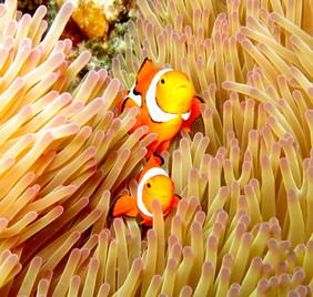 clownfish great barrier reef.JPG