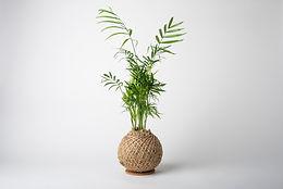 Parlour Palm.jpg