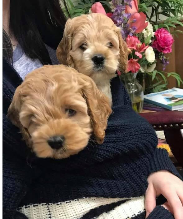Aislingdoodle Puppies