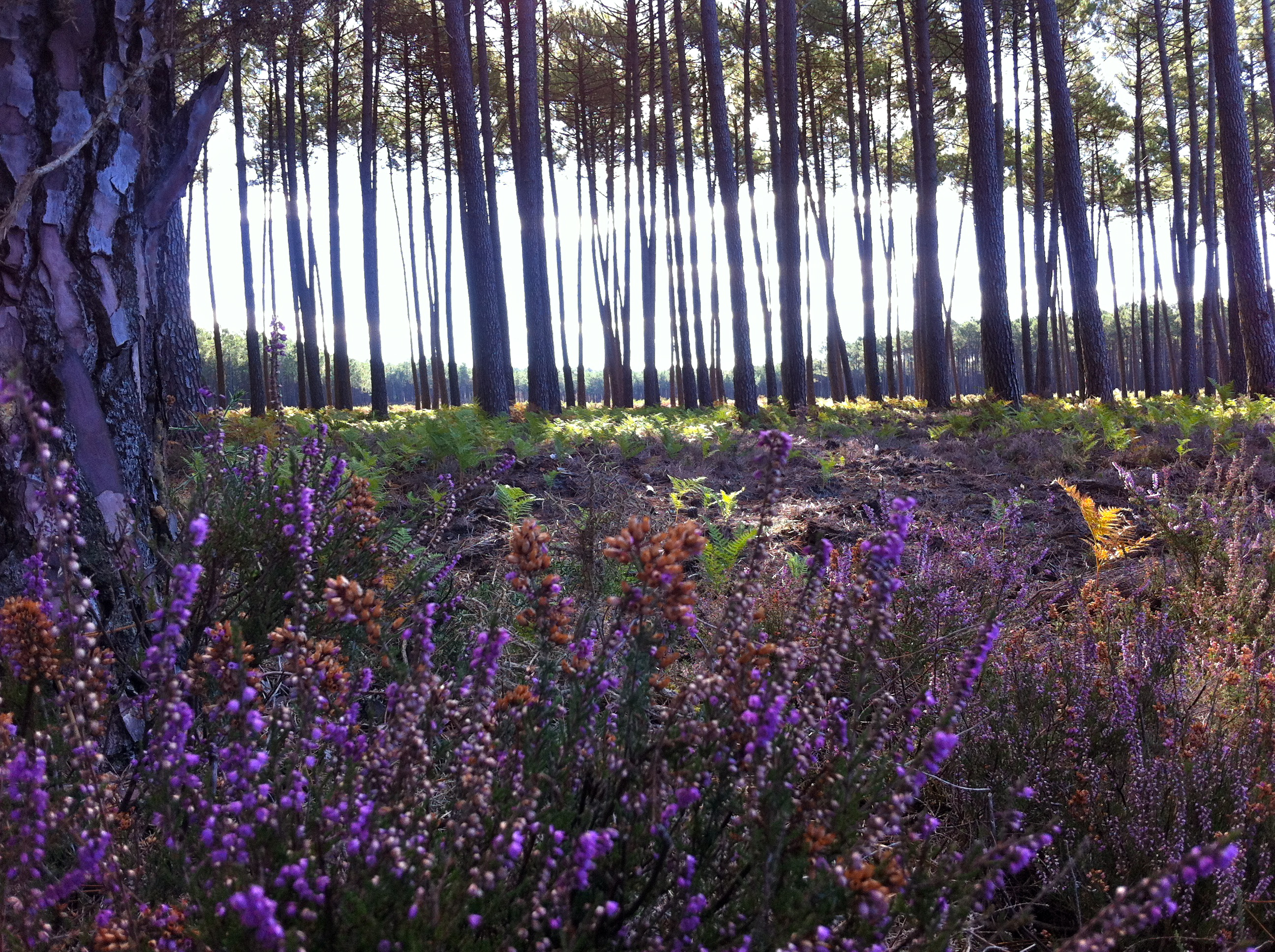 L'Océan des Landes - Bruyère en forêt
