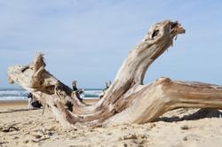 L'Océan des Landes - Bois flotté