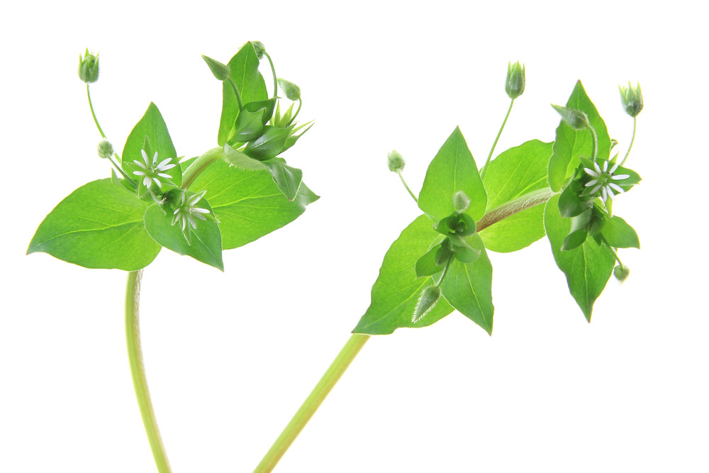 Up-close to Chickweed
