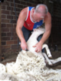 Doug Rathke shearing sheep