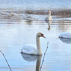 Swans on Muir Loch