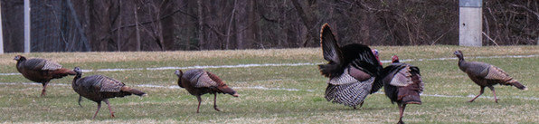 Wild Turkeys_2.jpg