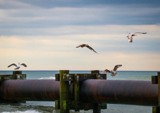 European Herring Gull.jpg