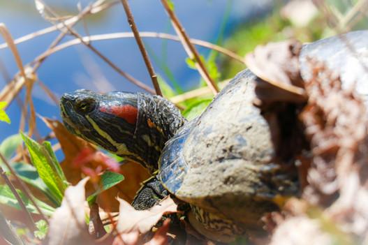 Red-eared Slider Turtle.jpg