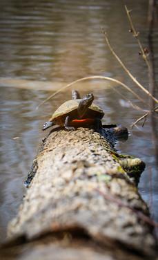 Lake Turtle.jpg