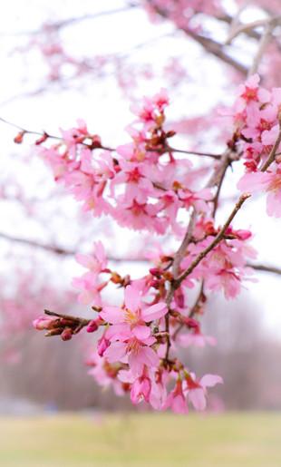 Cherry Blossoms_4.jpg