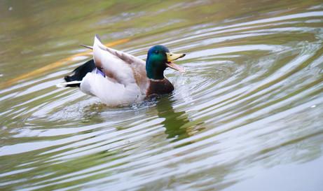 Mallard Duck Male.jpg