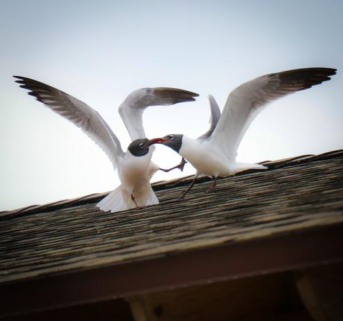 Black-headed Gull.jpg