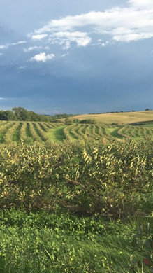 Storm rolling in over the Aronia field
