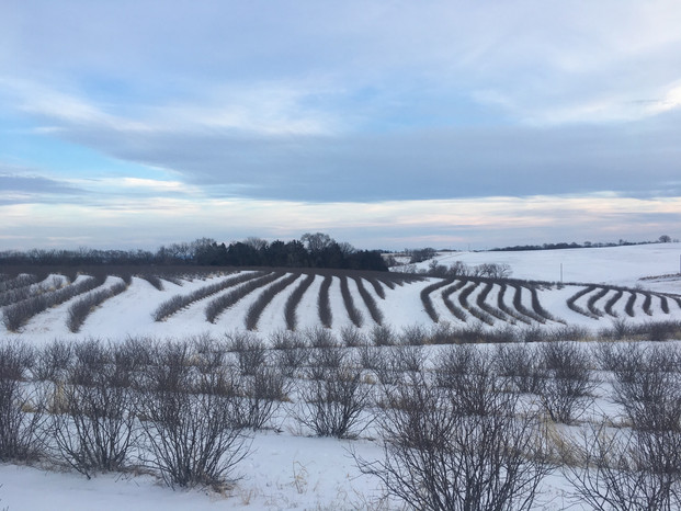 Winter in the Aronia field