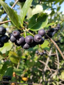 Aronia berry cluster