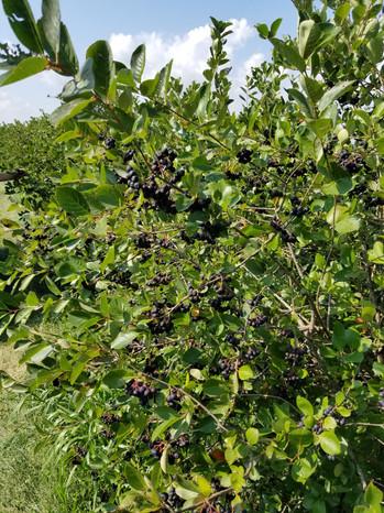 Bush full of Aronia berries