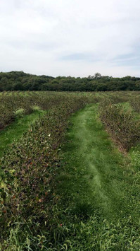 Looking down a row of Aronia berries
