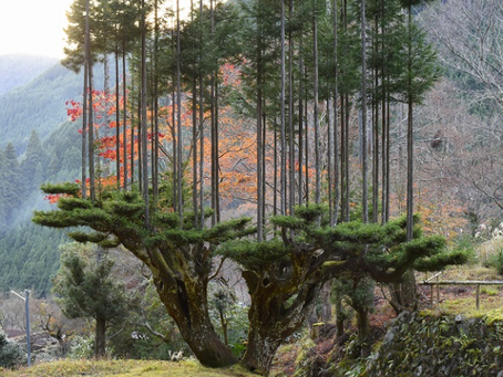 Daisugi, the 600-Year-Old Japanese Technique of Growing Trees Out of Other Trees