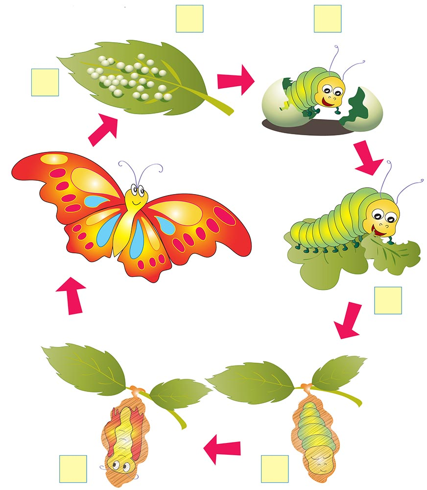 sample-life cycle of a butterfly