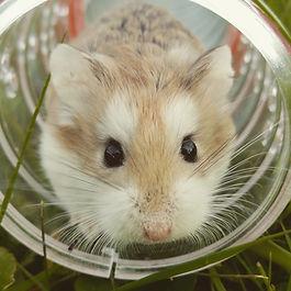hamster-1149177.jpg