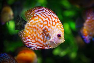 discus-fish-1943755.jpg