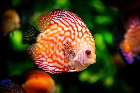 discus-fish-1943755_edited.jpg