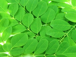 Nootropic Activity of Moringa oleifera Leaves