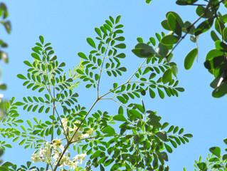 Boost Serum Glutathione? Moringa oleifera!