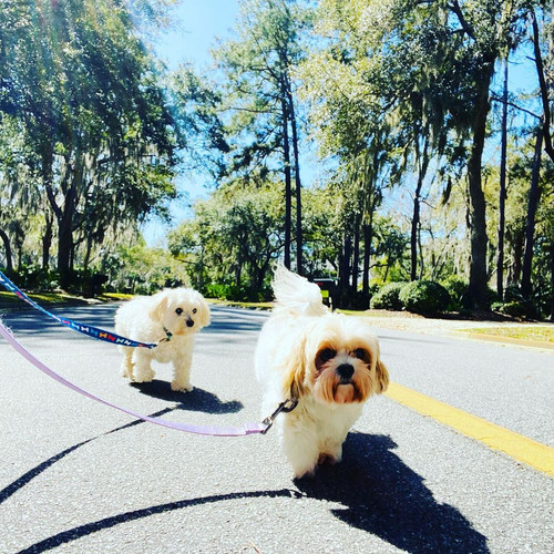 Ollie & Goldie on a sunny walk.