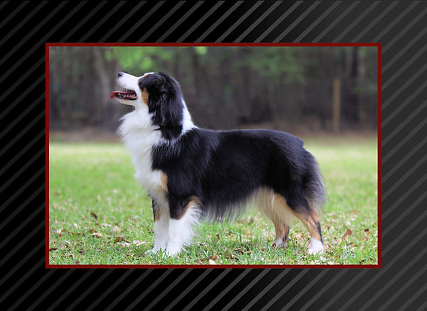 AKC GCH Patchworks Limited Edition