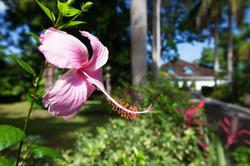 JM251 Pink Hibiscus