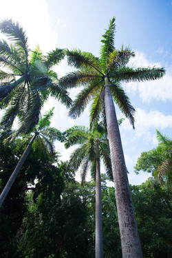 JM251 Royal Palms