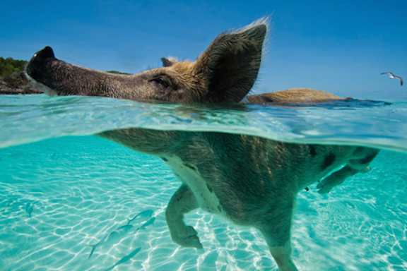 Exuma Swimming Piggy